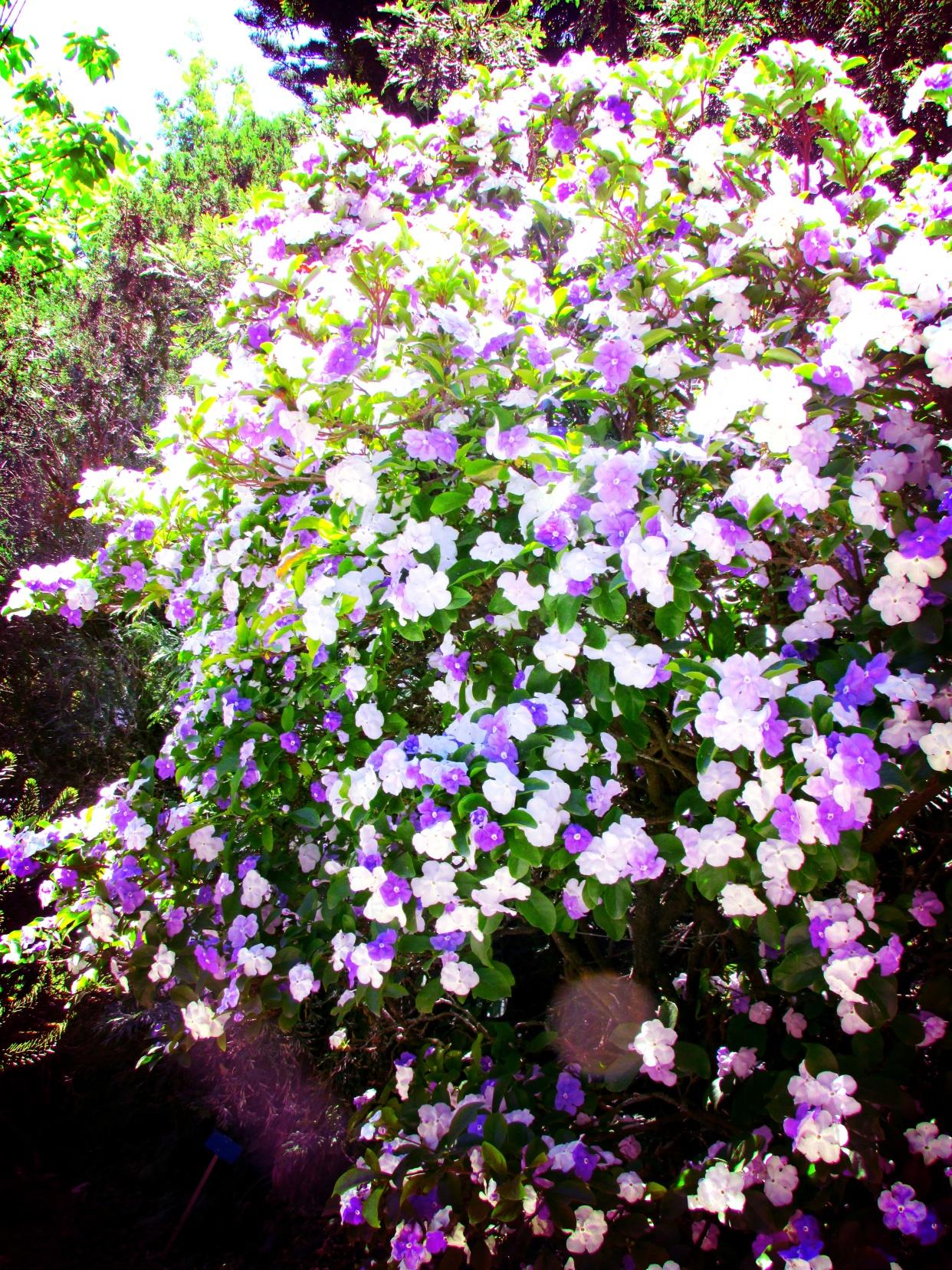 brunfelsia portici orto botanico.jpeg